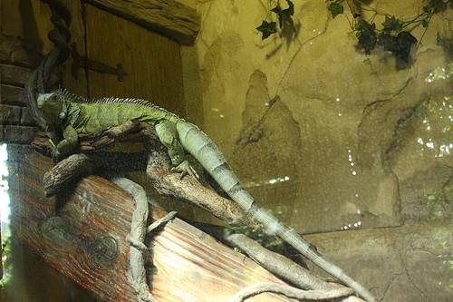 Игуана в акварииуме