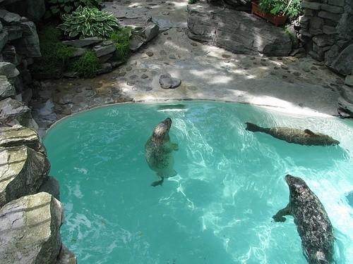 Нью-йоркские морские львы