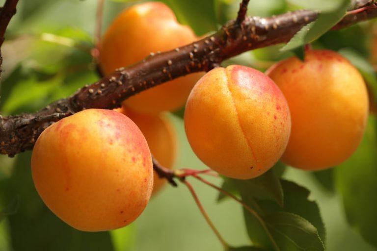 О полезных свойствах абрикоса