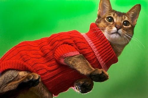 Кот в красной кофточке