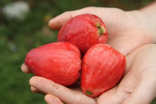 Яванское яблоко