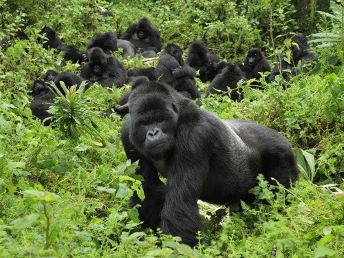 Парк горилл, Руанда