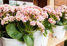8 комнатных растений с лекарственными свойствами