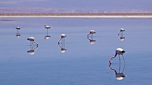 Посмотрите на фламинго в Салар-де-Атакама