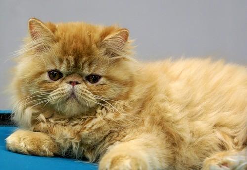 Порода кошек Миниатюрная персидская кошка