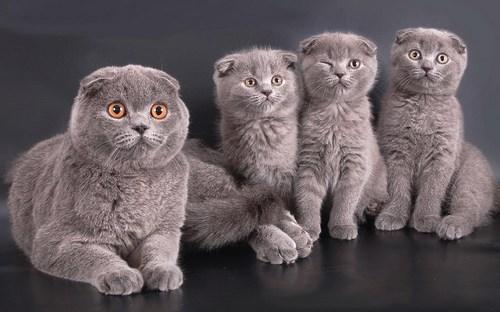 Порода кошек Шотландская вислоухая