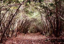 Лес Аокигахара (Япония)
