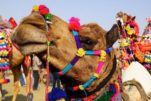Фестиваль верблюдов в Биканере, Раджастхан (Индия)