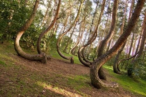 «Кривой лес», Польша