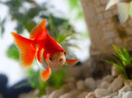 14 Советов по Разведению Золотых Рыбок
