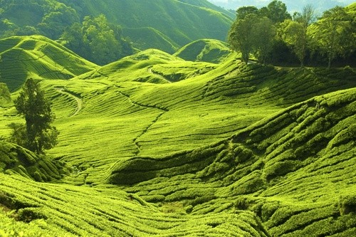 Кэмерон-Хайлендс, Малайзия