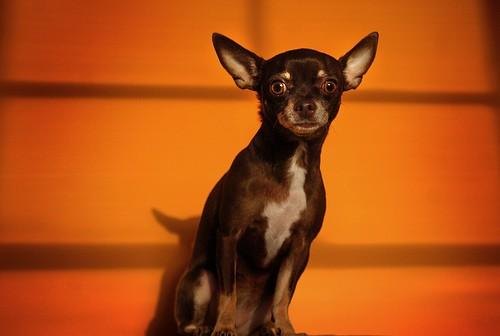 Чихуахуа - миниатюрная собака