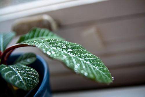 Капли воды на комнатном растении