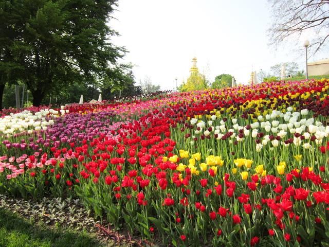 Разноцветные тюльпаны в Печерском Ландшафтном парке Певчее поле